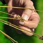 Busca Veracruz liderazgo en producción de semillas