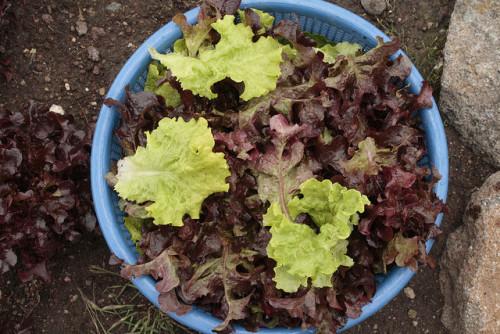 Cosecha de hojas de lechuga. Por Vía Orgánica