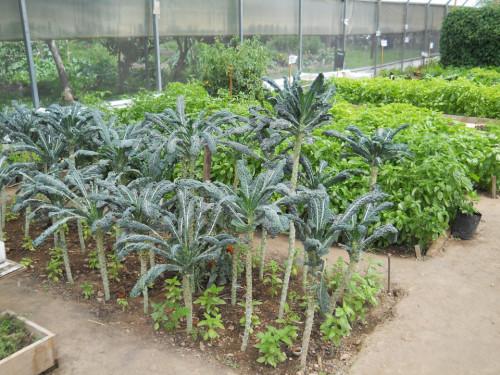 Producción de semilla de kale