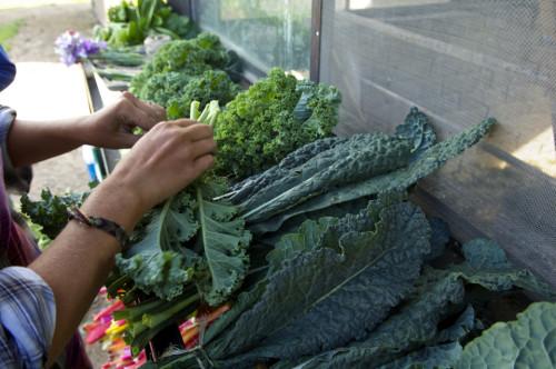 Cosecha de kale en Rancho Vía Orgánica