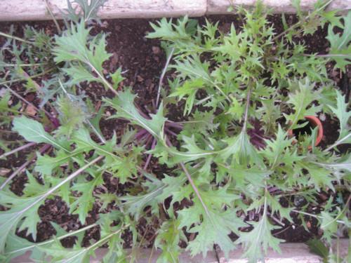 Plantas de arúgula
