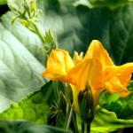 El poder de… La flor de calabaza