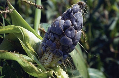 """Maize ear infected with common smut (Ustilago maydis). The characteristic galls form on most aboveground parts of the maize plant, including ears, stalks, tassels and leaves; on the ears they replace individual kernels. Galls are initially greenish- or grayish-white with a shiny periderm. As they mature they become dark gray and contain masses of black spores (teliospores). Eventually the periderm dries and disintegrates, releasing the spores. The galls that form at the tip of the ear are the most distinctive and can reach up to 15cm in diameter. In Mexico and Central America, galls on the ear are consumed as a delicacy known as """"huitlacoche"""". For more information, see CIMMYT's Maize Doctor: https://maizedoctor.cimmyt.org/index.php?option=com_content&task=view&id=219&Itemid=51&lang=en. Photo credit: CIMMYT."""