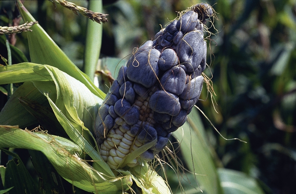 """Maize ear infected with common smut (Ustilago maydis). The characteristic galls form on most aboveground parts of the maize plant, including ears, stalks, tassels and leaves; on the ears they replace individual kernels. Galls are initially greenish- or grayish-white with a shiny periderm. As they mature they become dark gray and contain masses of black spores (teliospores). Eventually the periderm dries and disintegrates, releasing the spores. The galls that form at the tip of the ear are the most distinctive and can reach up to 15cm in diameter. In Mexico and Central America, galls on the ear are consumed as a delicacy known as """"huitlacoche"""". For more information, see CIMMYT's Maize Doctor: http://maizedoctor.cimmyt.org/index.php?option=com_content&task=view&id=219&Itemid=51&lang=en. Photo credit: CIMMYT."""