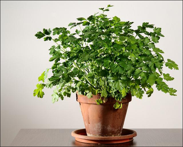 cómo cultivar perejil orgánico en tu casa - vía orgánica