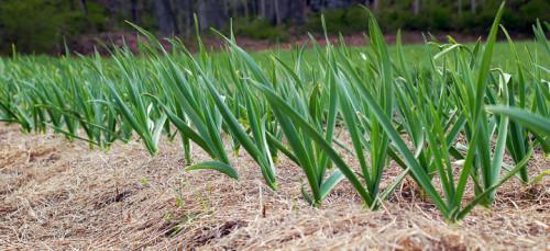 Cultivo de Ajo. Fotografía por Garlic Growers.