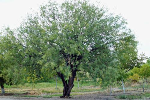 Árbol de Mezquite. Por flickr, Sergio Santillan.
