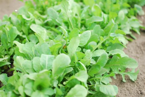 Plantas de arugula. Fotografía Flicker por Hey Sam