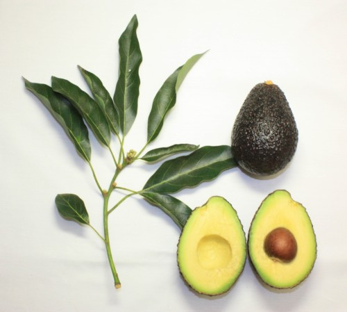 Branch_and_fruit_of_the_Maluma_avocado_cultivar