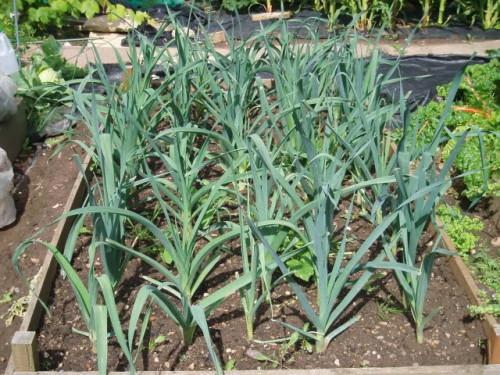 Cultivo de Poro. Por Get Growing: Onions & Leeks