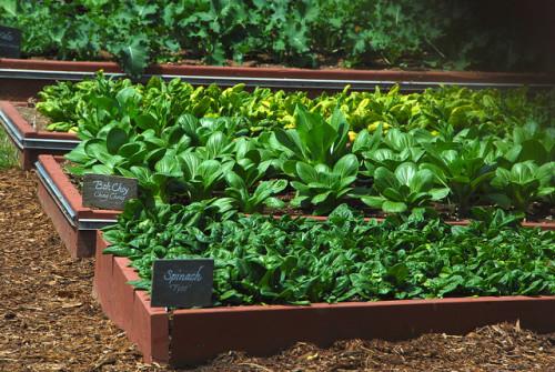 Camas de cultivo con espinaca y bok choy. Por Adam Fagen (Flickr)