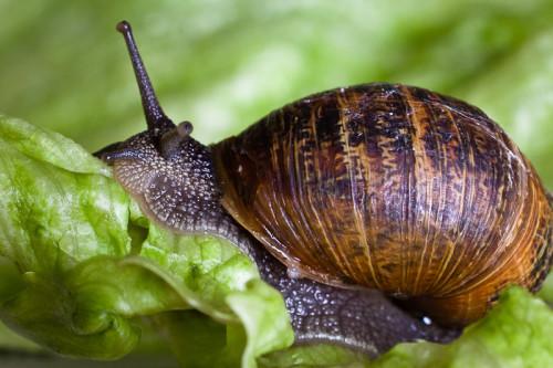 Caracol comiendo lechuga. Por Yukkycakes (Flickr)