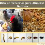 Como Criar Tenebrios (Gusanos de la Harina) para Alimento de Gallina