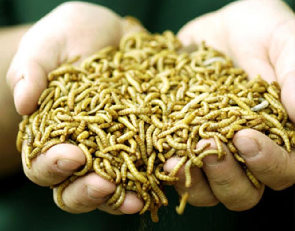 Como criar tenebrios gusanos de la harina para alimento for Gusanos blancos en la cocina