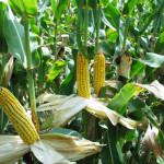 Para el país no es viable que se permita sembrar transgénicos