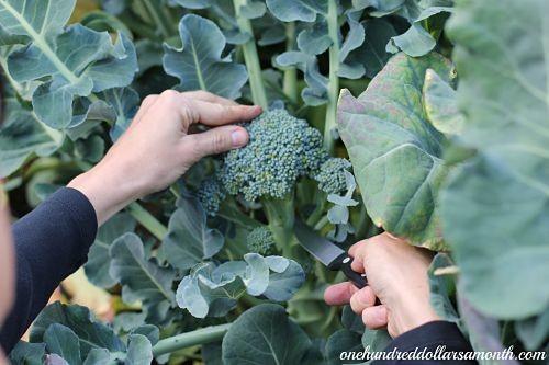 Cosecha de Brócoli. Por onehundreddollaramonth