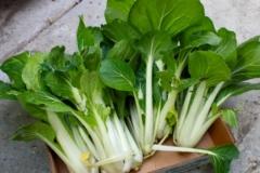 Cómo Cultivar Bok Choy Orgánico en Casa
