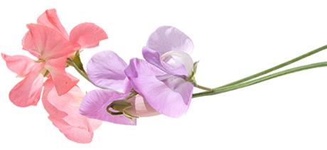 Cosecha de flor de chícharo. Por Sweet Peas Direct