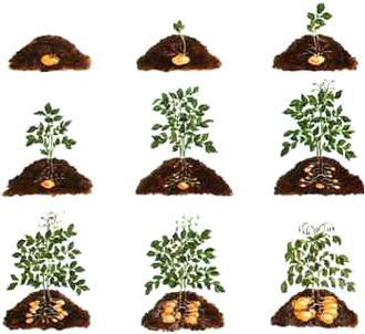 Etapas del cultivo de la papa. Por Soberania Agroecologica Canaria