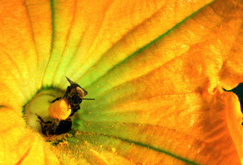 Polinización en calabaza. Fuente: Flickr 5409349543