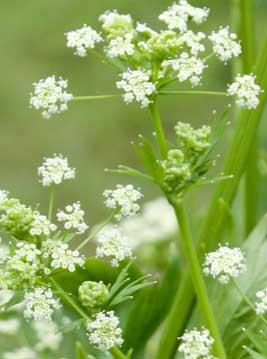 Flor de apio. Por growveg.com