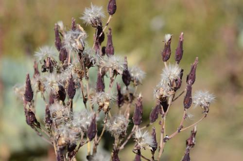 Floración de lechuga. Por Hey Sam (Flickr)