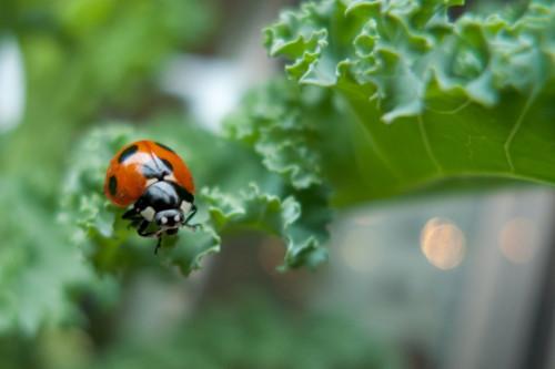 Catarina, insecto benéfico, en kale. Ayuda para el control de pulgones