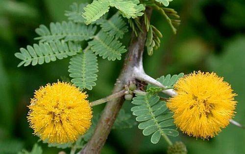 Hojas y flores de Huizache. Por Exotic Plants