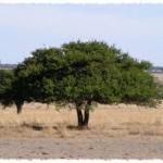 Mezquite y Huizache, Árboles Mexicanos Que Fertilizan Nuestro Suelo