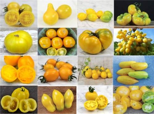 Jitomates amarillos