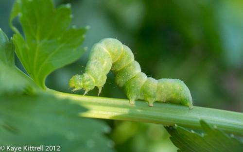Larva en apio. Por Kaye Kittrell 2012.