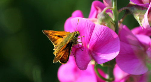 Las flores de chícharo atraen a insectos benéficos. Por Gill2012 (Flickr)