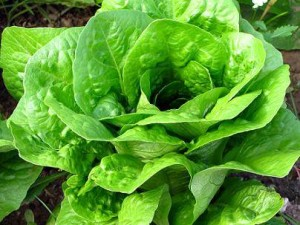Lechuga. Por Ensaladas y Verduras Express