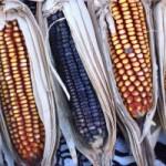 Informe sobre maíz transgénico en México y glifosato