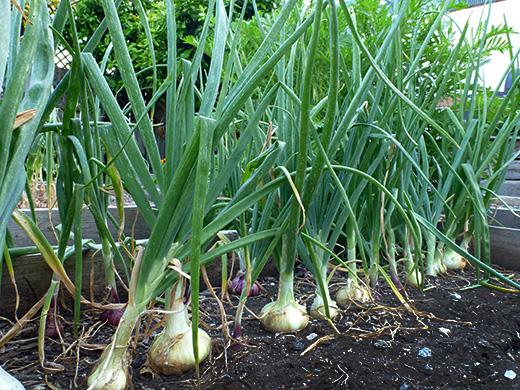 Planta cebolla. Por Garden Betty