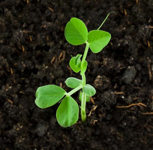 Plantula de chícharo. Por harvesttotable. com