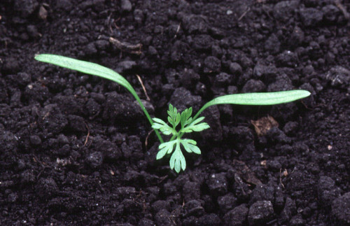 Plantula de zanahoria. Por Ohio Perennial and Biennial Weed Guide
