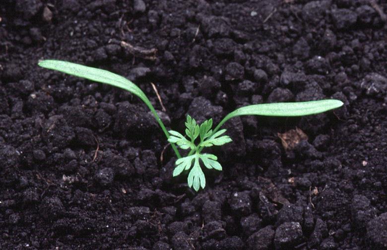 Como Cultivar Zanahoria Organica En Casa Via Organica Las zanahorias son ricas en carotenos, ese antioxidante que contiene provitamina a tan necesario para nuestra salud. cultivar zanahoria organica en casa