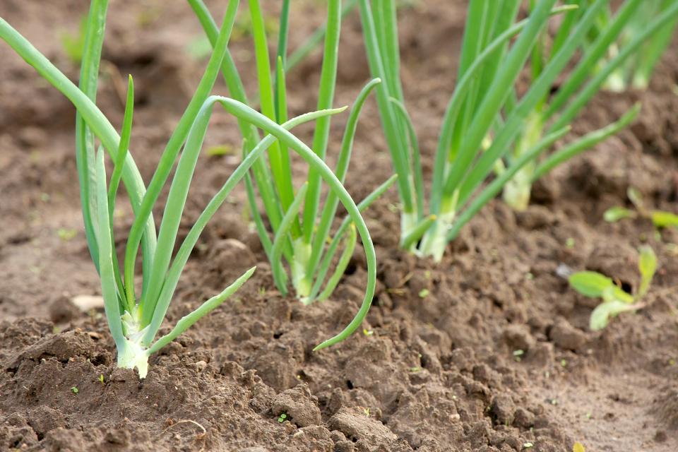 Plántulas cebolla. Por Harvest to Table