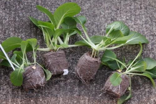 Plantulas de bok choy. Por Joel Ignacio (Flickr)