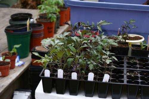 Plantulas de jitomate. Por Susy Morris (Flickr)