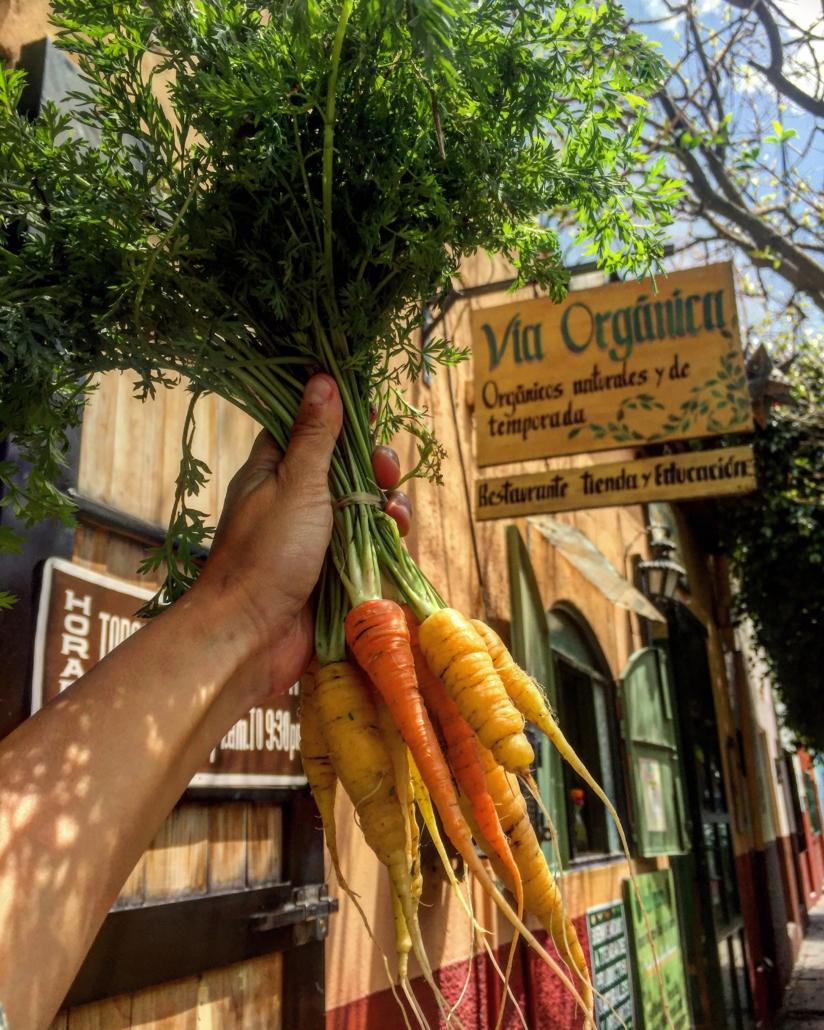 Como Cultivar Zanahoria Organica En Casa Via Organica Subespecie sativus, la zanahoria, pertenece a la familia de las umbelíferas, también denominadas apiáceas. cultivar zanahoria organica en casa