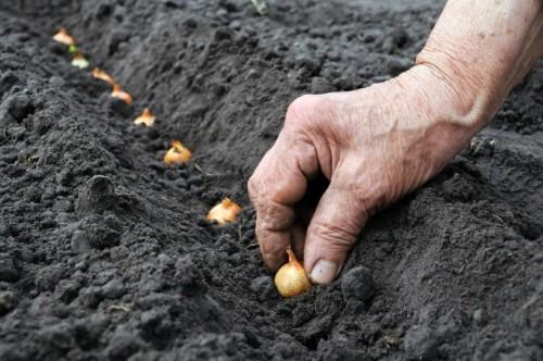 Siembra de chalotes. Por Harvest to table