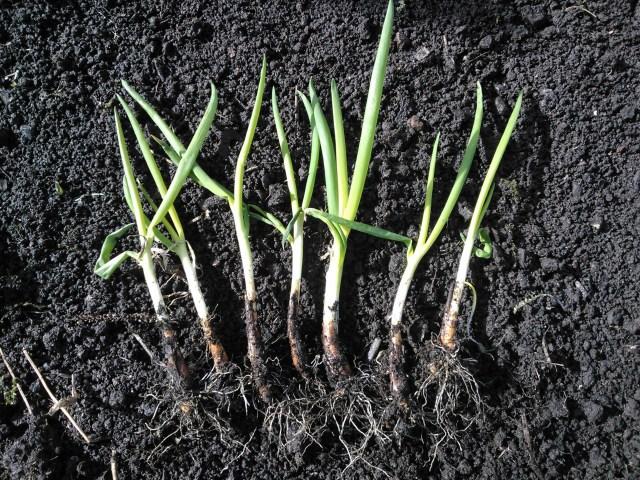 Trasplante de cebolla. Por Scottish Forest Garden