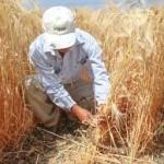 Productores e investigadores del INIFAP trabajan en proyecto para la producción de trigo orgánico en el Valle del Yaqui
