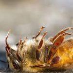 Crece la alerta por desaparición de abejas en varios estados