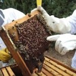 Miles de apicultores en riesgo si liberan permisos de soya transgénica
