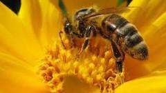 Transgénicos, plagas, pesticidas y cambio climático están acabando con las abejas