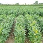 La empresa Monsanto ya produce en Chiapas 12 mil hectáreas de soya transgénica