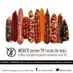 Juez dicta nueva suspensión de siembra de maíz transgénico